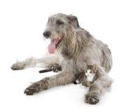 Cão caçador de lobos irlandês Fotografia de Stock Royalty Free
