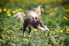 Cão com crista chinês Fotografia de Stock