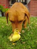 Cão com pato Fotos de Stock Royalty Free