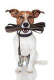 Cão com trela de couro Foto de Stock Royalty Free