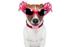 Cão como a rainha do arrasto Foto de Stock