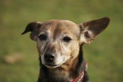 Cão da cruz de Jack Russell Imagem de Stock