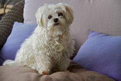 Cão da cruz maltesa Imagem de Stock Royalty Free