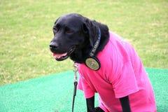 Cão da detecção do acelerador e dos explosivos Fotos de Stock Royalty Free