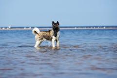 Cão de akita do americano em uma praia Fotografia de Stock Royalty Free