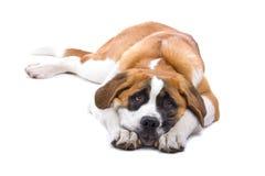 Cão de Bernard de Saint Fotos de Stock
