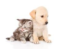 Cão de cachorrinho do golden retriever e gato de gato malhado britânico que sentam-se junto Isolado Fotografia de Stock Royalty Free