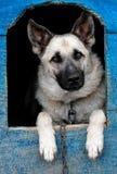 Cão de carneiros Foto de Stock Royalty Free