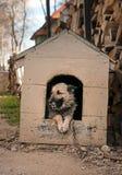 Cão de carneiros Imagem de Stock