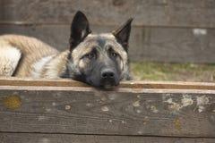 Cão de espreitamento Fotografia de Stock Royalty Free