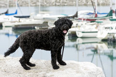 Cão de água português Foto de Stock