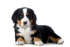 Cão de montanha de Bernese do filhote de cachorro Fotos de Stock Royalty Free