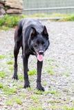 Cão de ovelhas negras Fotos de Stock Royalty Free