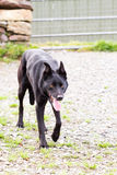 Cão de ovelhas negras Imagens de Stock Royalty Free