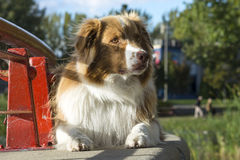 Cão de pastor australiano Fotografia de Stock