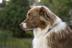 Cão de pastor australiano Imagem de Stock