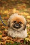 Cão de Pekingese Imagens de Stock Royalty Free