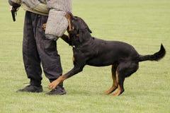 Cão de polícia Fotografia de Stock Royalty Free