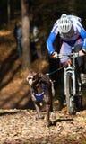 Cão de puxar trenós do Alasca Foto de Stock