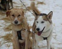 Cão de puxar trenós do Alasca no acampamento de Musher em Lapland finlandês Imagens de Stock Royalty Free