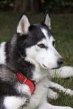 Cão de puxar trenós Siberian Imagens de Stock