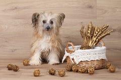 Cão de Shaggy Chinese Crested perto da cesta com flores secadas Imagem de Stock