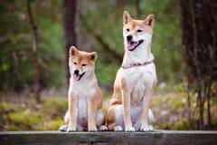 Cão de Shiba-inu e seu cachorrinho Fotografia de Stock