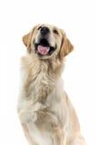 Cão de sorriso Fotografia de Stock Royalty Free