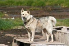 Cão de trenó que está em uma caixa em Ilulissat Fotografia de Stock Royalty Free