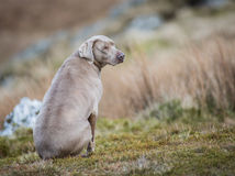 Cão de Weimaraner Imagem de Stock Royalty Free
