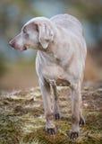 Cão de Weimaraner Imagens de Stock