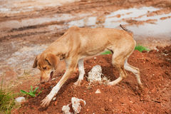 Cão disperso grego Foto de Stock