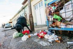 Cão disperso que come o lixo dos recipientes Fotografia de Stock Royalty Free