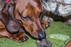 Cão do bassê que come seu alimento com seu cão desgrenhado encantador do amigo Fotografia de Stock Royalty Free