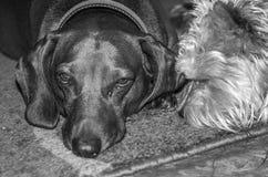 Cão do bassê que come seu alimento com seu cão desgrenhado encantador do amigo Imagem de Stock Royalty Free