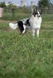 Cão do Collie Fotos de Stock