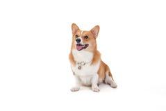 Cão do Corgi Fotos de Stock Royalty Free