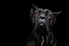 Cão do corso do bastão Fotografia de Stock