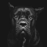 Cão do corso do bastão Imagem de Stock Royalty Free
