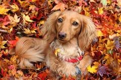 Cão do dachshund do outono Foto de Stock Royalty Free