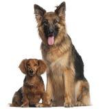 Cão do Dachshund e de pastor alemão Fotografia de Stock