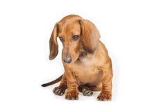Cão do Dachshund isolado sobre o fundo branco Fotos de Stock Royalty Free