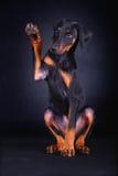 Cão do doberman do bebê Foto de Stock Royalty Free