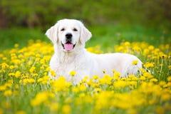 Cão do golden retriever no campo dos dentes-de-leão Imagens de Stock
