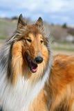 Cão do Lassie Fotografia de Stock Royalty Free