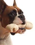 Cão do pugilista Foto de Stock Royalty Free