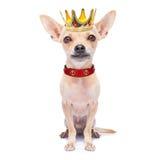 Cão do rei da coroa Imagem de Stock
