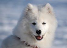 Cão do Samoyed Fotos de Stock Royalty Free
