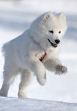 Cão do Samoyed Imagem de Stock