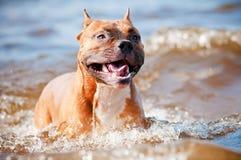 Cão do terrier de Staffordshire americano que joga na praia Fotografia de Stock Royalty Free
